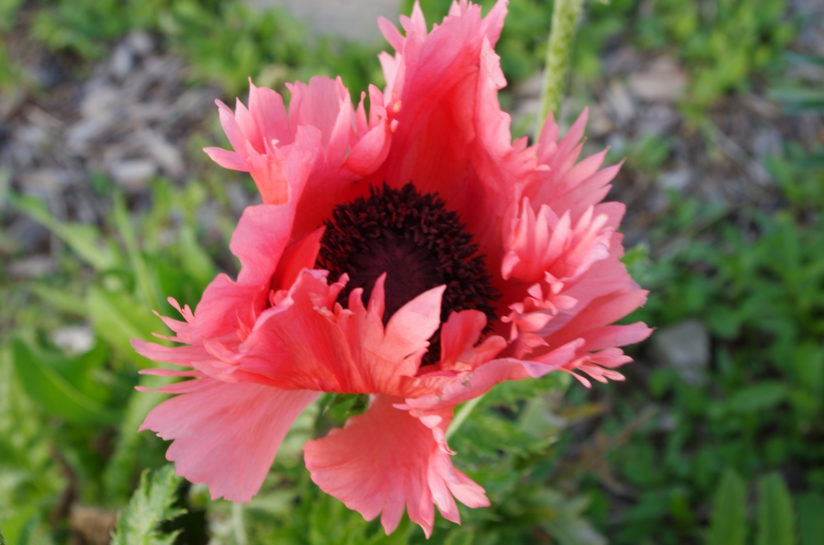 Patty's Plum Poppy