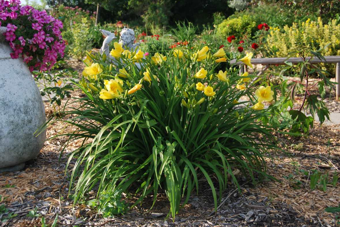 Happy Returns Hemerocallis