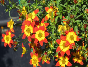 Bidens Bee-Dance Painted Red