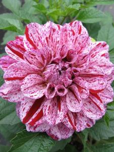 Go-Go Speckled Pink Dahlia
